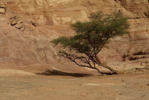 TreeShittim800px-Acacia_in_Sinai_desertFlorianPrischl